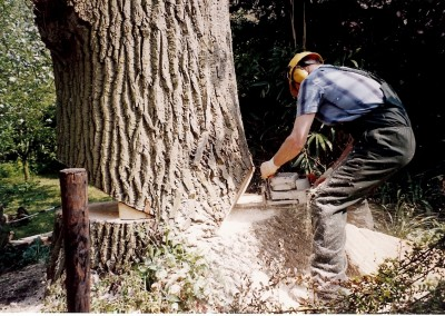 Het omzagen van grote bomen